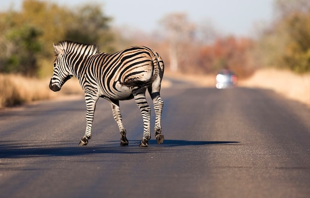 Wildes zebra auf der straße