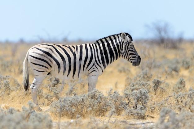 Wildes zebra, das in der afrikanischen savanne nahe geht