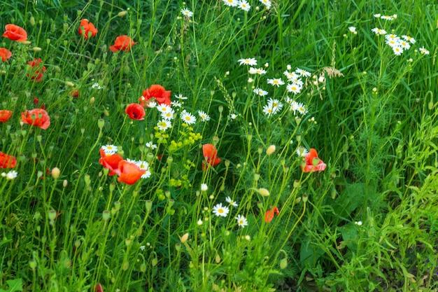 Wildflowers mohn und kamille im gras. sommer blühender hintergrund.