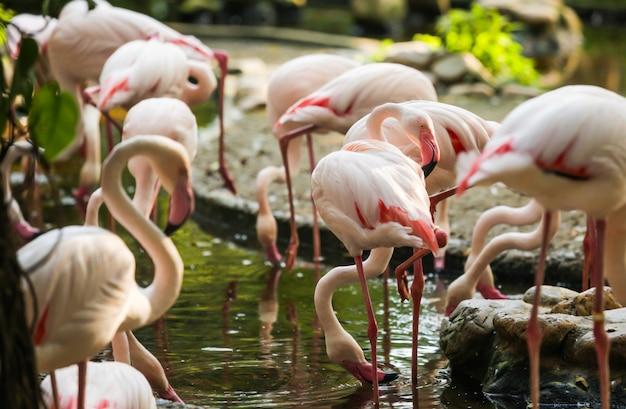 Wildlife animal, flamingos sind eine art watvögel, flieger. flamingos stehen normalerweise auf