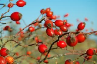 Wildrose früchte