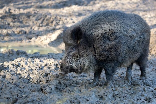 Wildschwein auf einer lichtung