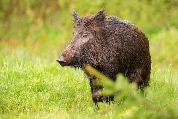 Wildschwein, das auf grüner weide in der sommernatur schaut