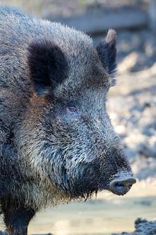 Wildschwein ein nahaufnahmeporträt