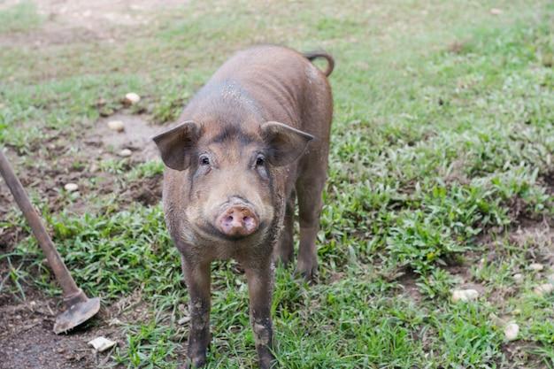 Wildschwein im gras, vor einem dickicht (sus scrofa).