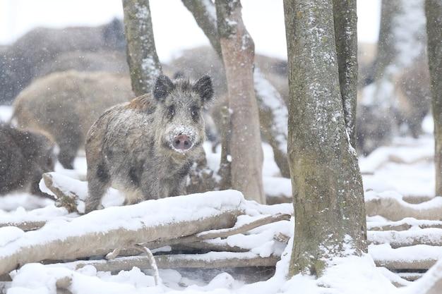 Wildschwein im naturlebensraum. europäisches wildschwein. sus scrofa.