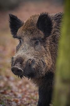 Wildschwein im naturlebensraum gefährliches tier im wald tschechien natur sus scrofa