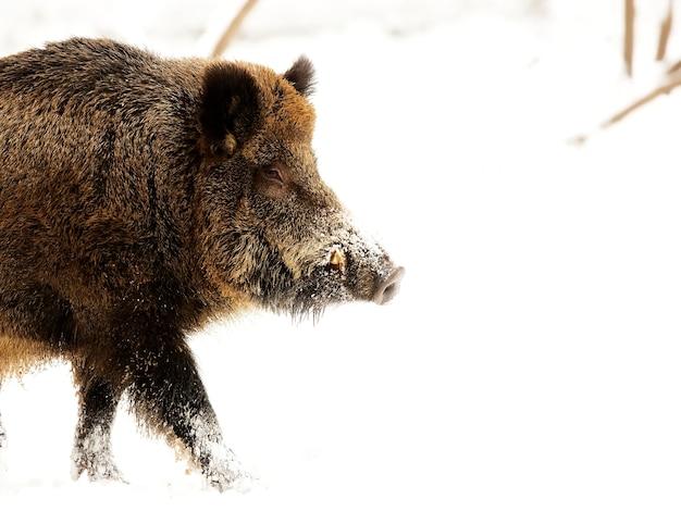 Wildschwein im winter, ein porträt