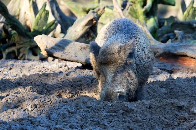 Wildschwein in freier wildbahn