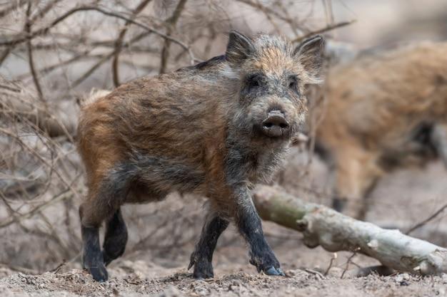 Wildschwein männchen im wald