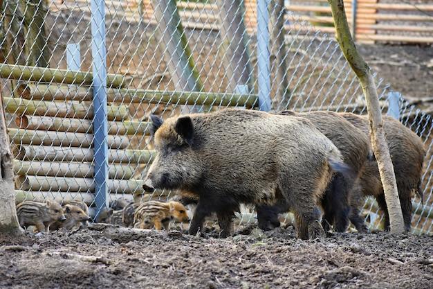 Wildschwein mit jungtieren. tier im wald.