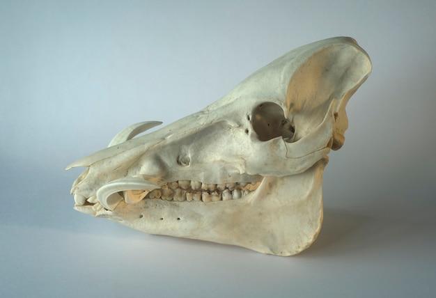 Wildschwein oder warzenschwein phacochoerus africanus schädel