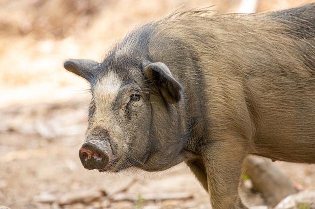 Wildschwein, sus scrofa, asien, thailand