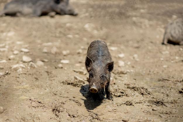 Wildschwein - sus scrofa - im sumpf in seinem natürlichen lebensraum.