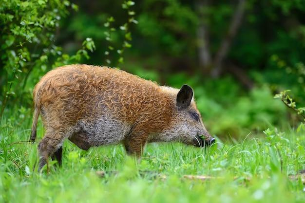 Wildschweine auf dem wald im sommer