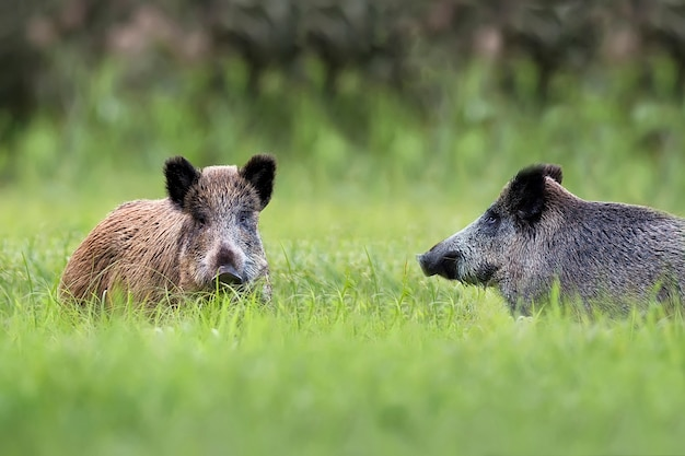 Wildschweine auf einer lichtung in freier wildbahn