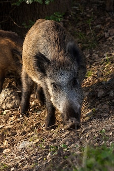 Wildschweine fressen eicheln unter den eichen