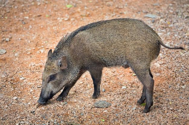 Wildschweine gehen in der natürlichen atmosphäre des zoos spazieren.