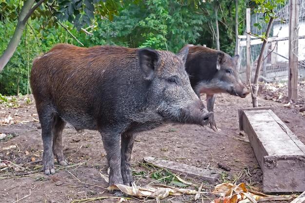 Wildschweine im öffentlichen waldgehege werden zur reproduktion gehalten