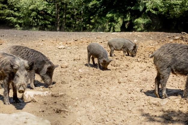 Wildschweine im sumpf in ihrem natürlichen lebensraum