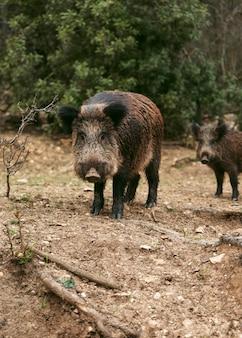 Wildschweine in der natur