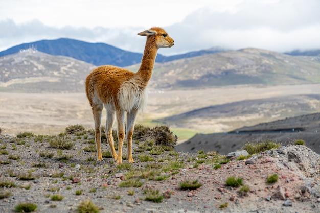 Wildtiere im chimborazo wildlife reserve in ecuador
