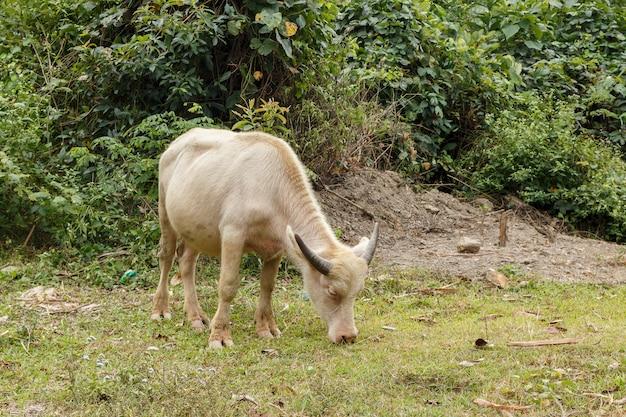 Wildwasserbüffel oder hauswasserbüffel in vietnam.