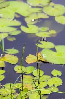 Wildwasserlilie auf dem kleinen see in seyshelles