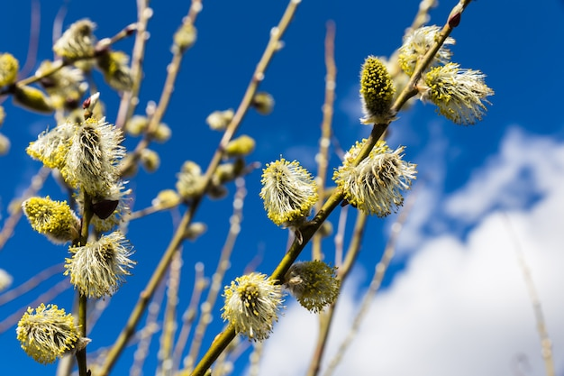 Willow zweig himmel