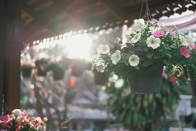 Windenblume im blumentopf mit sonnenlicht an der dämmerung