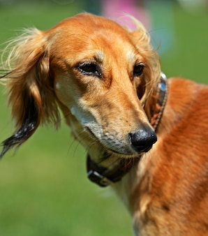 Windhund bei einer hundeausstellung im frühjahr
