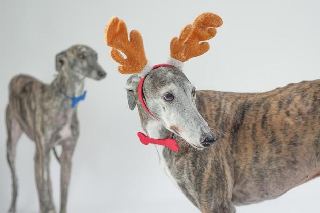 Windhund hunde weihnachtskleid