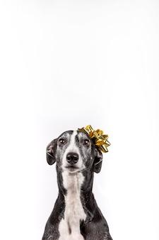 Windhund mit weihnachtsgeschenkblume auf dem kopf