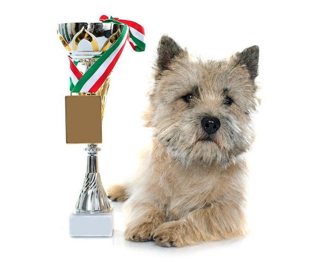 Winer cairn terrier