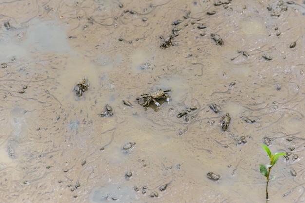 Winkerkrabbe, geisterkrabbe (ocypodidae), die in die mangrove geht