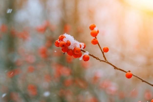 Winter ashberry unter dem schnee