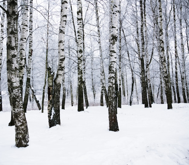Winter-birken