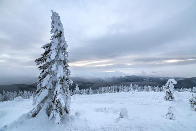 Winter blaue landschaft. gezierter baum im tiefen schnee auf gebirgsreinigung am kalten sonnigen tag auf kopienraumhintergrund des bewölkten himmels.