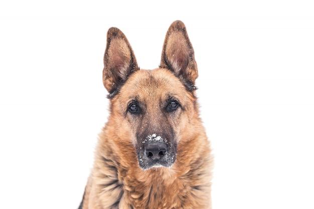 Winter deutscher schäferhund porträt lokalisiert auf weiß