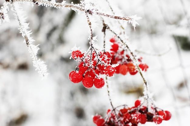 Winter gefrorenes viburnum unter schnee. viburnum im schnee. erster schnee. herbst und schnee.