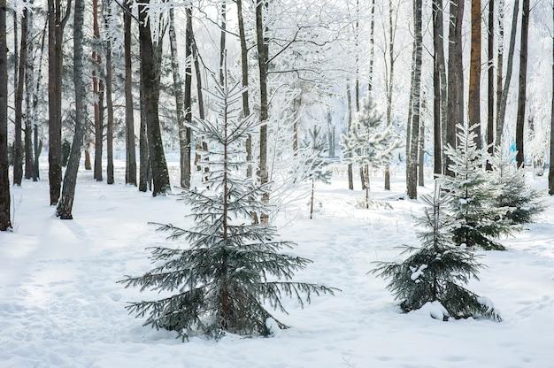 Winter hell mit tannen im frost. schneebedeckte tannen.