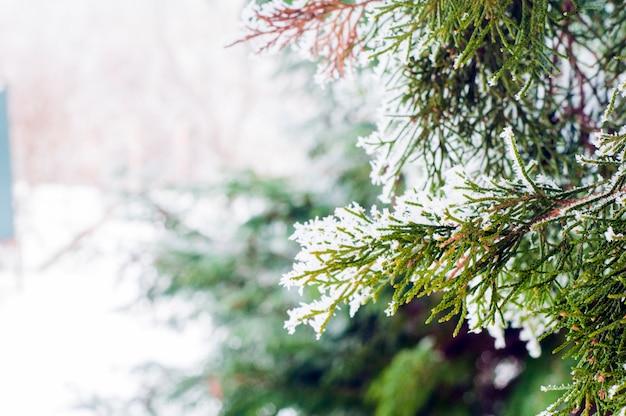 Winter hintergrund, nahaufnahme von frosted tannenzweig mit kopie raum. winterlandschaft. frostige winterlandschaft im schneebedeckten wald. winter hintergrund.