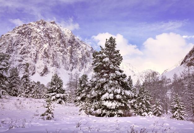 Winter im aktru-tal hohe fichten inmitten von schneewehen gegen