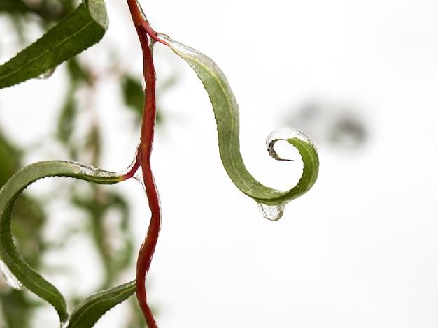 Winter im garten erster frost und gefrorenes weidenblatt gefrorener wassertropfen