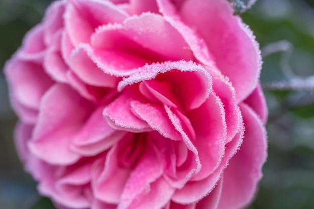 Winter im garten. raureif auf den blütenblättern einer rosa rose, der erste frost. geringe schärfentiefe