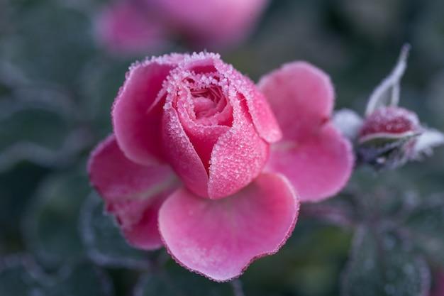 Winter im garten. raureif auf den blütenblättern einer rosa rose, der erste frost.