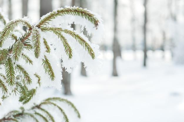 Winter mit tannenzweigen im frost.