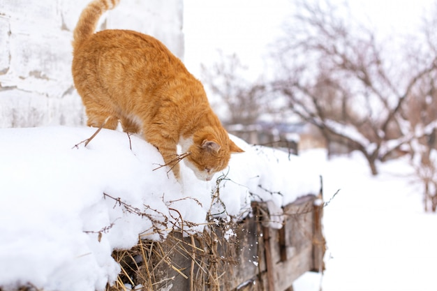 Winter. rote katze, die in den schnee springt