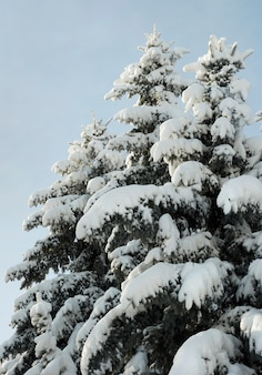 Winter schneebedeckte nadelbaumkronen im stadtpark