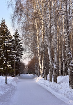 Winterallee im park kahle birken und hohe fichten entlang des verschneiten weges